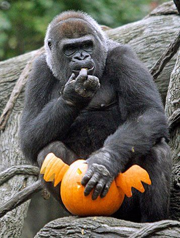 Happy Halloween, from the Great Apes Survival Partnership