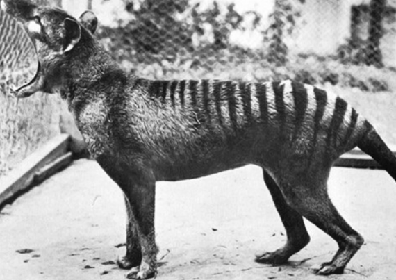 Thylacine, the Tasmanian wolf Rare animals, Animal facts