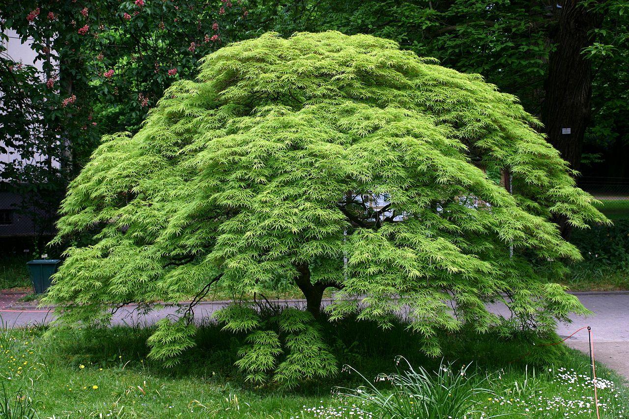 Lista De Arbustos Japoneses Que Te Encantarán Arce Japones Arboles Para Jardin Arbustos