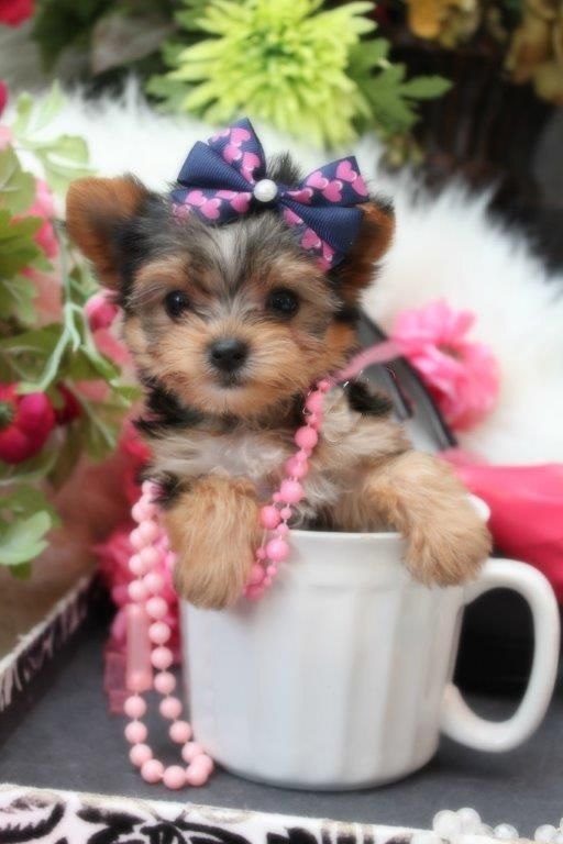 Yorkie Names Cute Male Female Yorkshire Terrier Names Yorkie