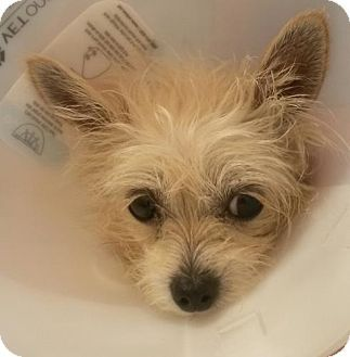 Pittsburg Ca Yorkie Yorkshire Terrier Maltese Mix Meet Calla Lily A Dog For Adoption Yorkie Yorkshire Terrier Yorkie Yorkshire Terrier