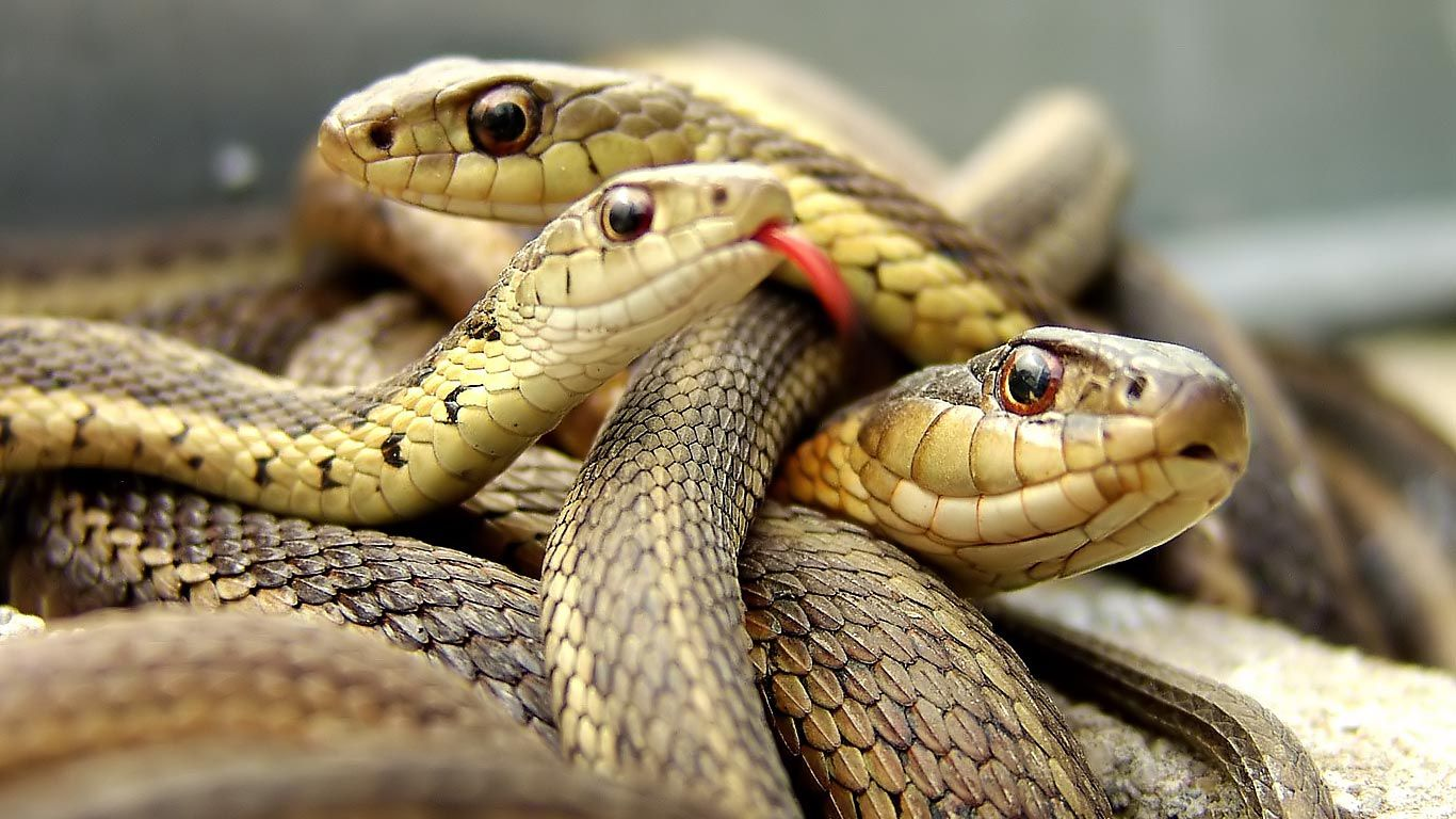 Snakes hd Wallpapers for Laptop Animals wild, Wild