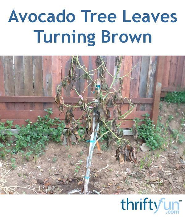 Avocado Tree Leaves Turning Brown Avocado Tree Avocado Plant Growing Avacado Tree