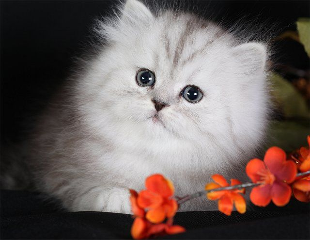 Persian Kittens For Sale In Oregon