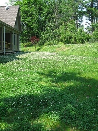 Clover lawns... beautiful and dog urine resistant ...