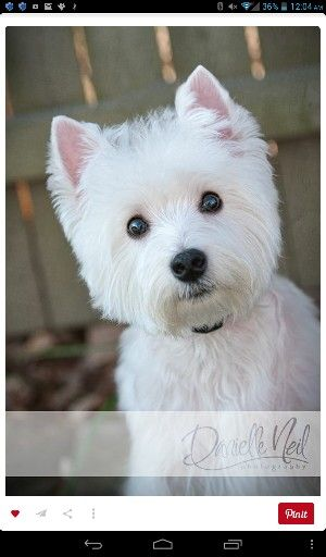 Well I M Waiting Westie Dogs Westie Puppies Cute Dogs