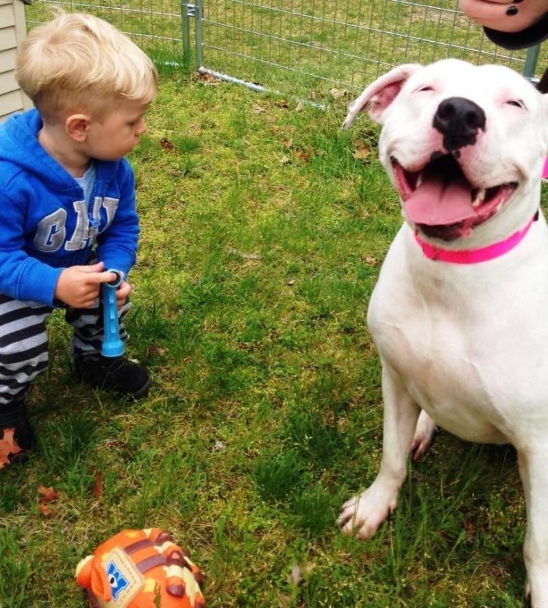 Adopt Patz on Pitbull terrier, Dogs, Adoptable pit bulls