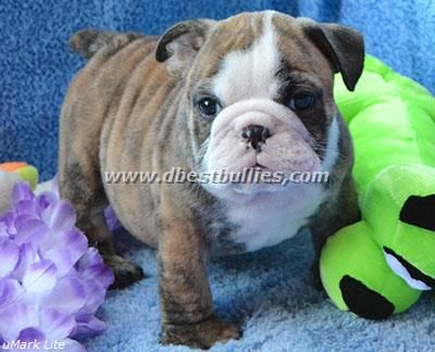 The Puppies English Bulldog Breeder English Bulldog Puppy