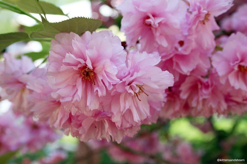 Fluffy Cherry Blossoms The Best Sakura Flowers Cherryblossoms Blossoms Hanami Tree Nature Blogger Beautiful Blooms Garden Trees Japanese Garden