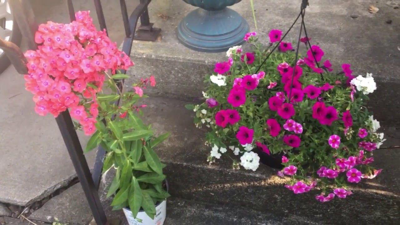 Home Depot Flower Haul Lovely Hanging Verbena Petunia Flower Basket And Phlox Flowers Flowers Perennials Perennials