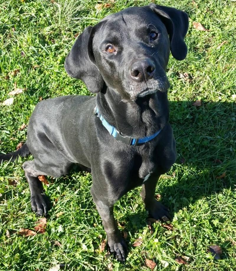 REBEL is an adoptable Labrador Retriever searching for a forever family near Lisbon, OH. Use Petfinder to find adoptable pets in your area.
