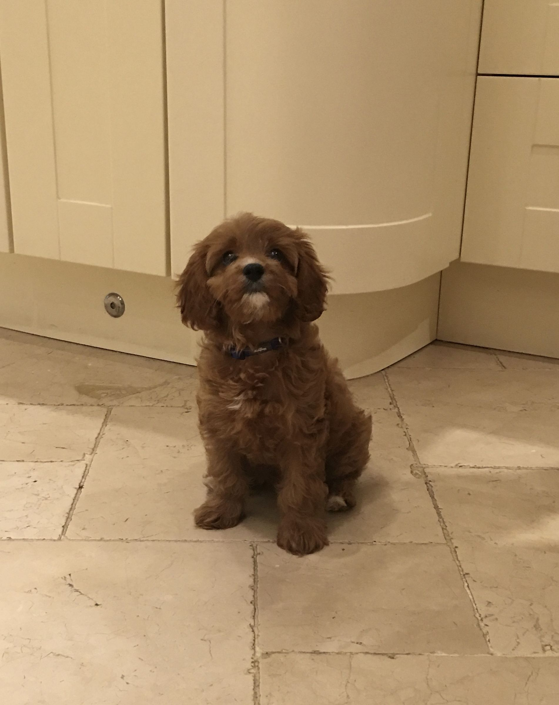 Our Little Cavapoo She Is 12 Weeks And So So Cute