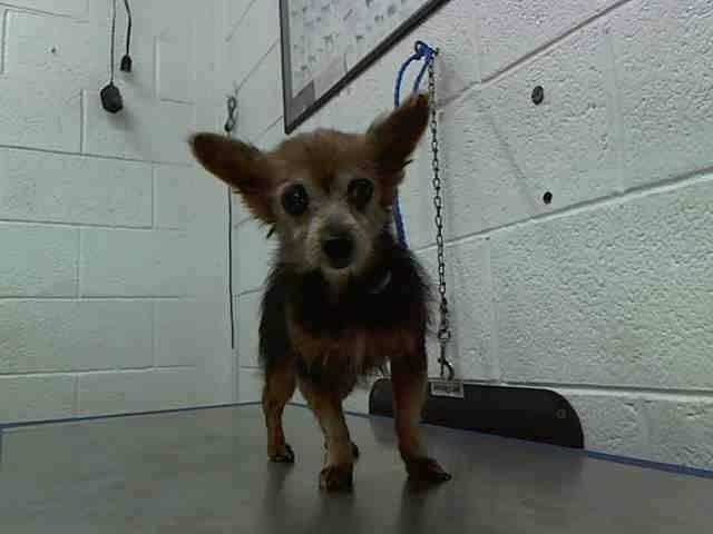 BETTY (A1644321) I am a female black and brown Yorkshire Terrier mix. The shelter staff think I am about 9 years old. I was found as a stray and I may be available for adoption on 09/19/2014. — Miami Dade County Animal Services. https://www.facebook.com/urgentdogsofmiami/photos/pb.191859757515102.-2207520000.1410810592./839729792728092/?type=3&theater
