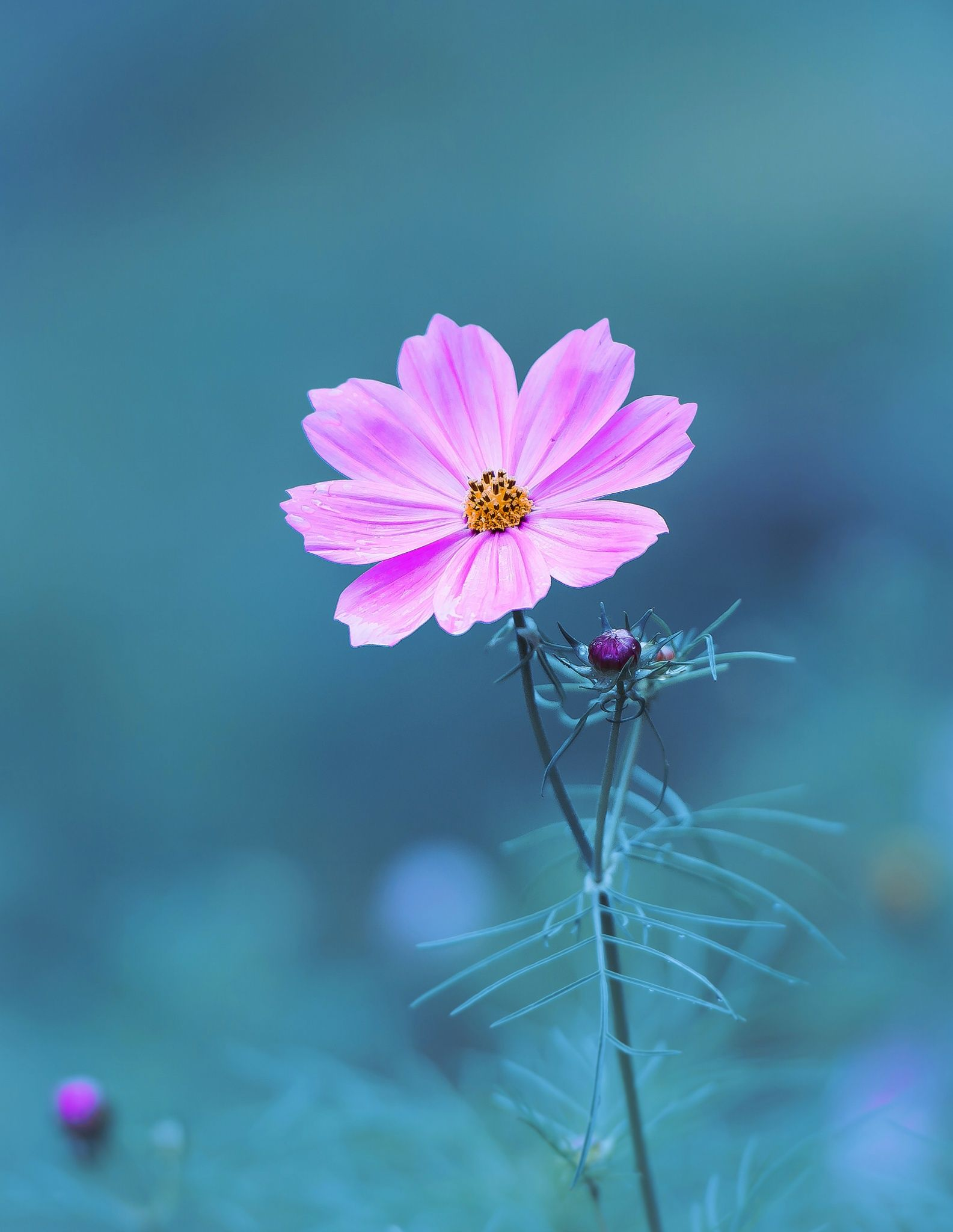 Pink And Blue By Dave B 500px Cosmos Flowers Flowers Photography Beautiful Flowers Wallpapers