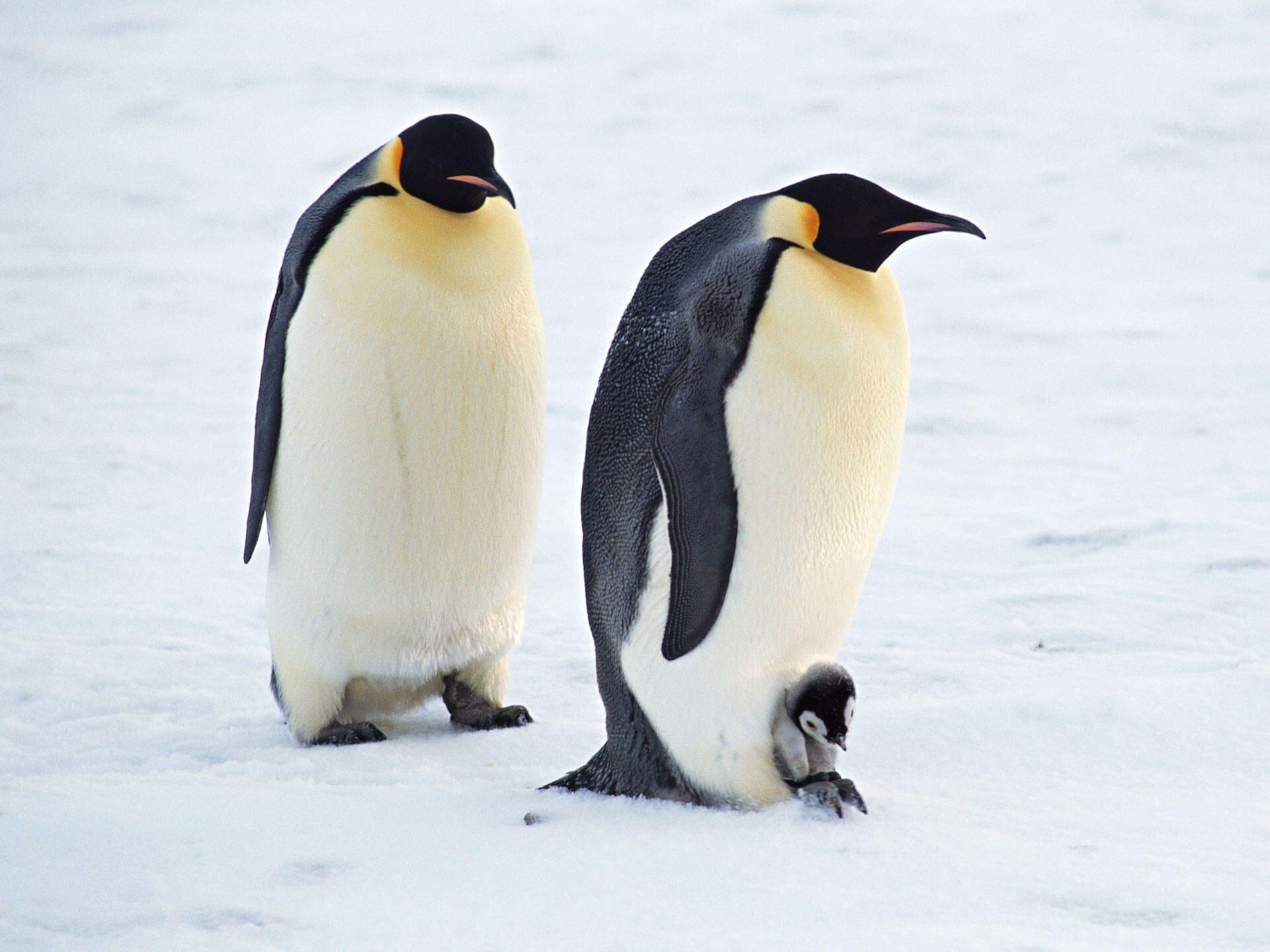 Arctic Penguins Pair Normal