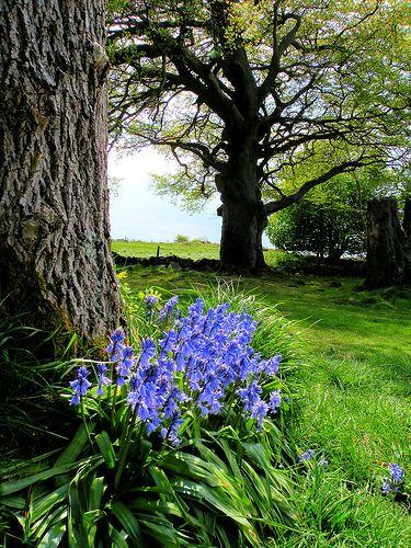Mendip Bluebells, Charterhouse Jardín azul, Rusticas y Jardín