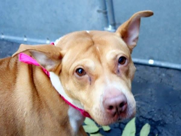 SAFE --- Manhattan Center  HENESSY - A1020129 *** BEGINNER HOME ***  FEMALE, TAN / WHITE, CHOW CHOW / PIT BULL, 4 yrs OWNER SUR - EVALUATE, NO HOLD Reason MOVE2PRIVA  Intake condition EXAM REQ Intake Date 11/09/2014, From NY 10474, DueOut Date 11/09/2014, Main thread: https://www.facebook.com/photo.php?fbid=904697326209814