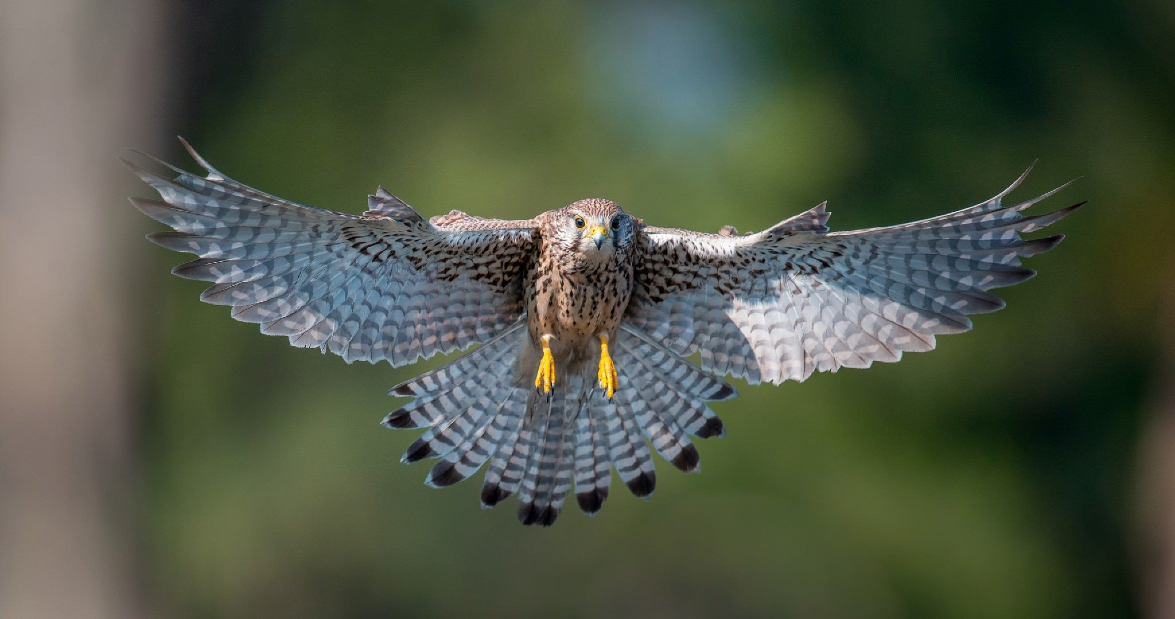 Kestrel bird flying 4k ultra hd wallpaper ololoshenka - Birds of prey wallpaper hd ...