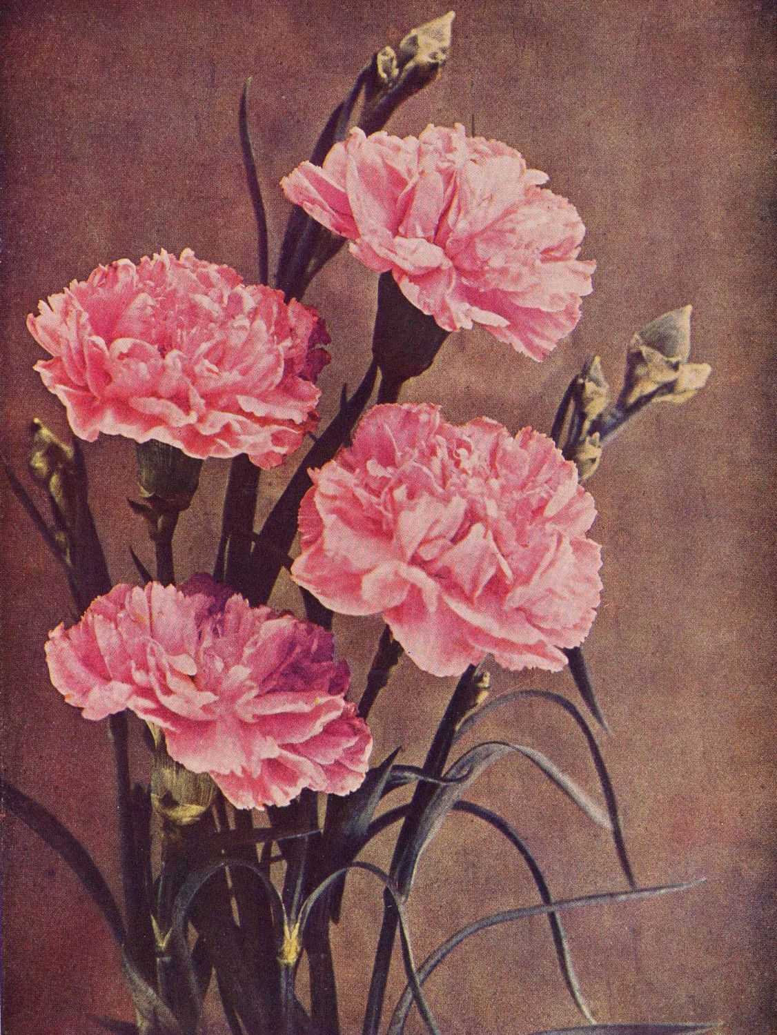 3 Carnations Made To Order For A Gamma Phi Beta Claveles Cuadros Pintura Flores