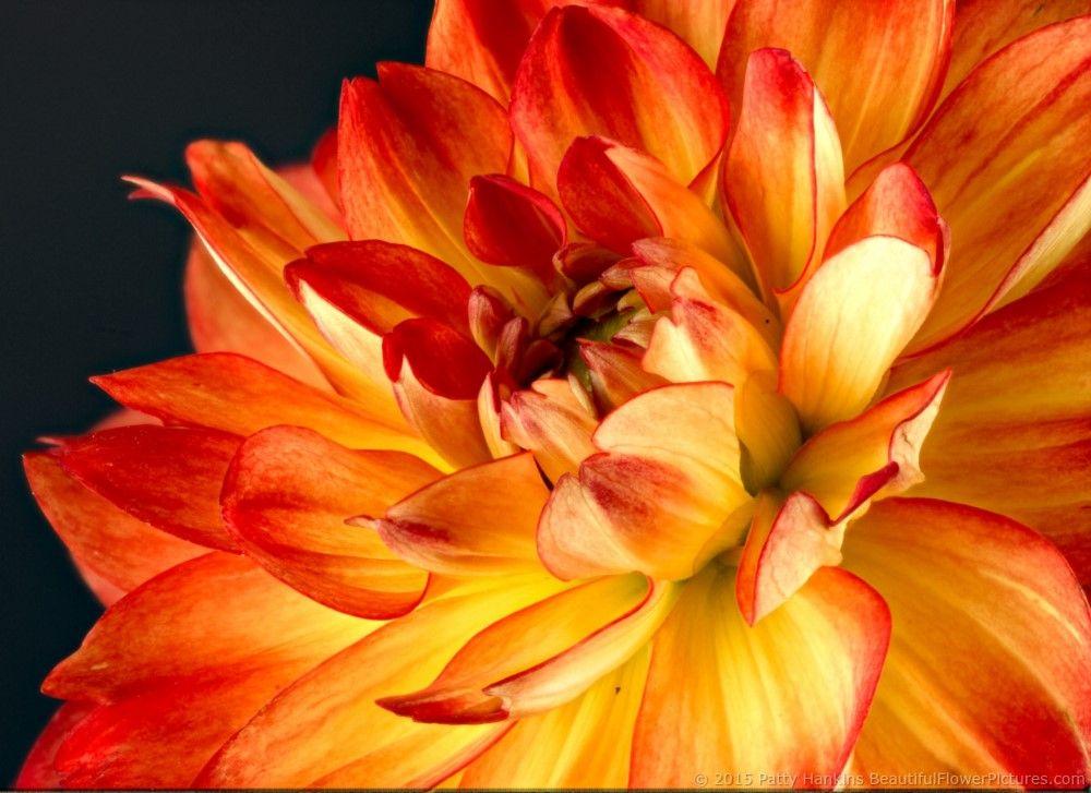 Karma Irene Dahlias Beautiful Flowers Dahlia Seed Packaging