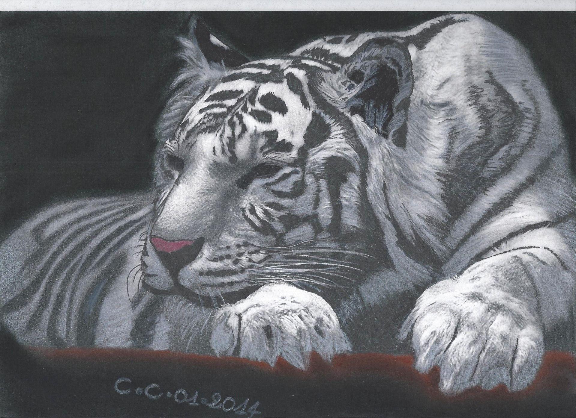Tigre blanc au repos sur canson a4 dessins par les - Tigre blanc dessin ...