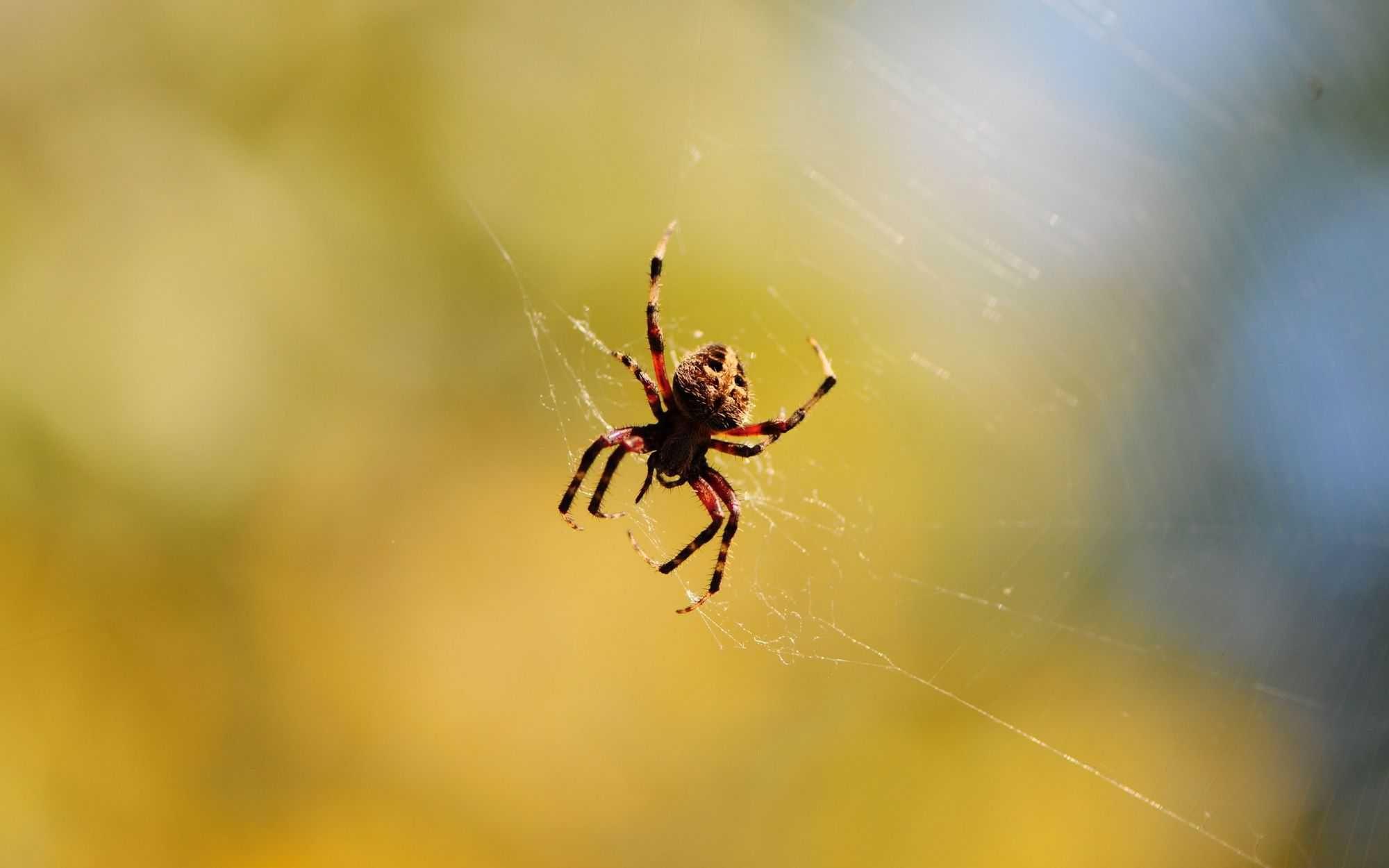 تفسير العنكبوت في الحلم للامام الصادق موسوعة Spider Pet Birds Poisonous Spiders