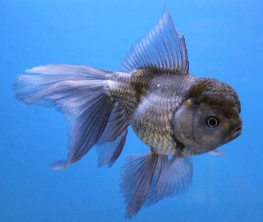 Blue oranda goldfish 6 live fish koi pond aquarium tank for Fish that can live with goldfish