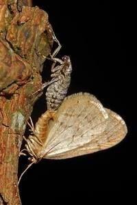 Paring van kleine wintervlinder (foto: Kars Veling)