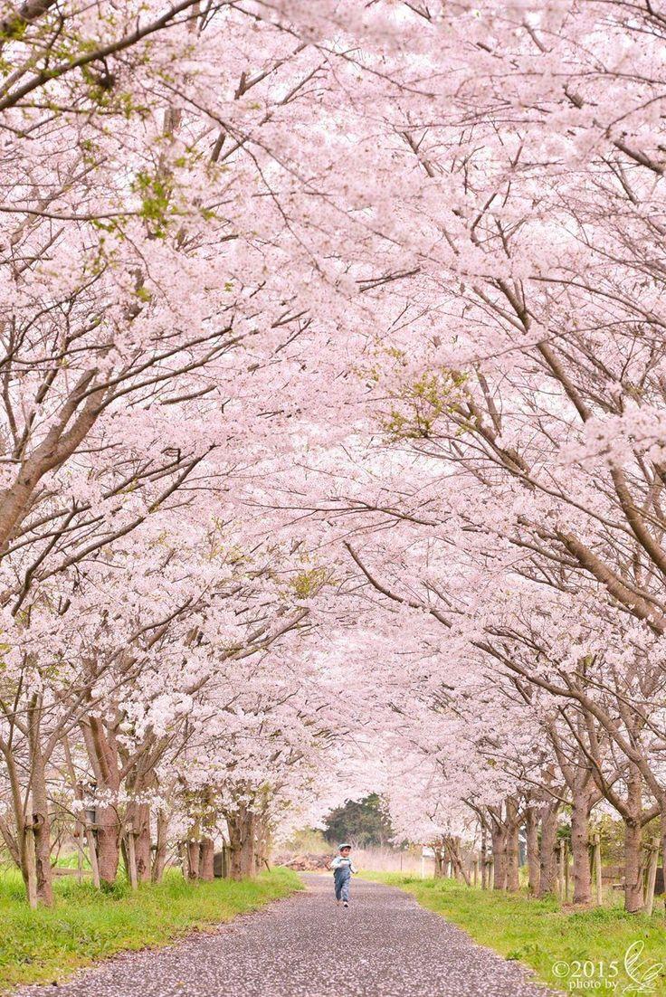 Lifeisverybeautiful Spring Scenery Cherry Blossom Japan Cherry Blossom