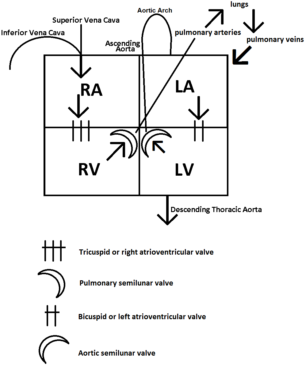 Heart box easy way to remember blood flow through chambers valves easy way to remember blood flow through chambers valves veins and arteries thanks to monica for teaching it to me ccuart Images