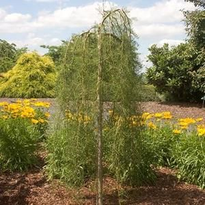 Walker Weeping Peashrub  *Easy to grow and tolerates poor soil.