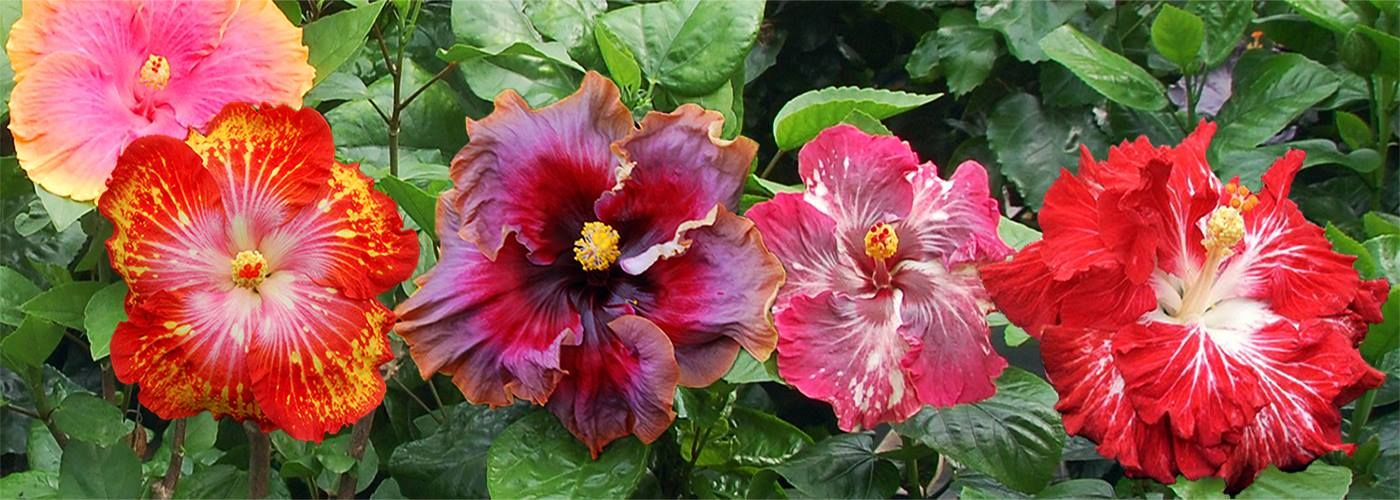 Hibiscus Come In Every Color Choose The Color You Want For The Tropical Garden Of Your Dreams Hibiscus Plant Hibiscus Rosa Sinensis Hibiscus