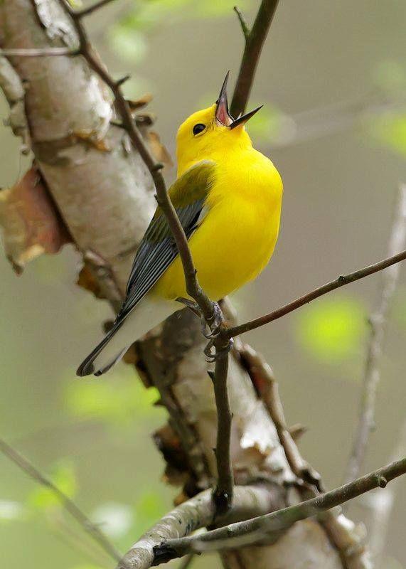 Prothonotary Warbler By Steve Gifford Taken At Sugar Ridge Fish U0026 Wildlife  Area In Southwest Indiana · Yellow BirdsBackyard ...