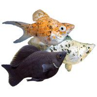 Live Fish Shop For Pet Fish Petsmart Molly Fish Pet Fish Fish