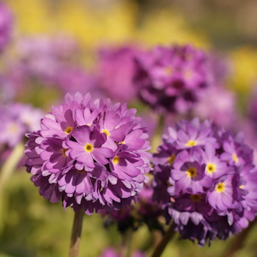 Primula denticulata violett Bollviva - perenner.se