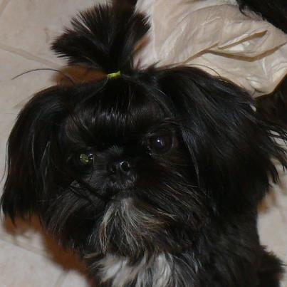 Our Tiny Boys Shih Tzus Shih Tzu Puppy Imperial Shih Tzu