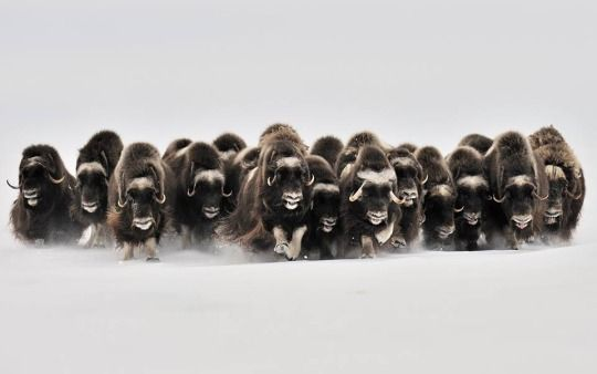 Coisas de Terê→ Muskoxen primarily live in the Canadian Arctic and Greenland, by Eric Pierre