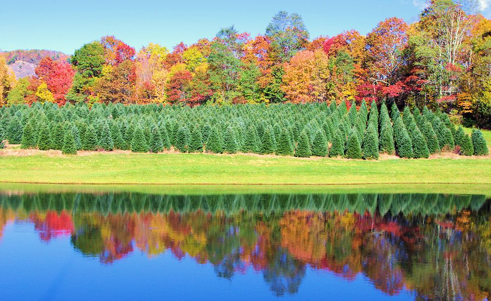 Two seasons in one! Christmas trees in the North Carolina ...