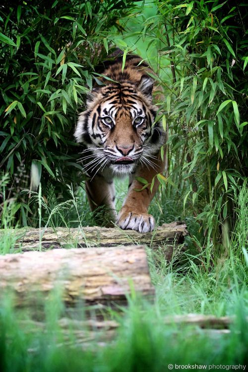 Desvre Tiger Photography Wild Animals Photos Sumatran Tiger