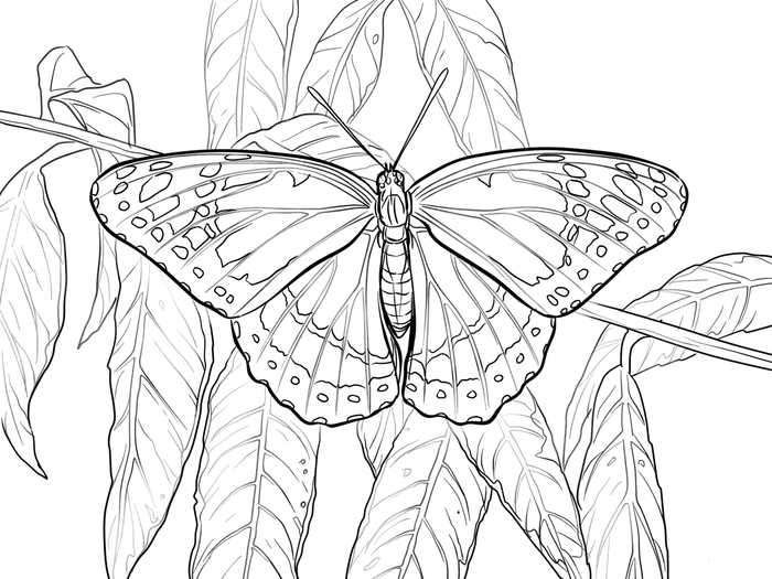 Viceroy Butterfly Coloring Page Butterfly Coloring Page