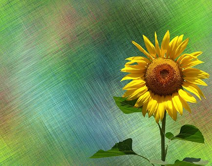 200 Free Sunflowers Sunflower Illustrations Pixabay Sunflower Illustration Sunflower Illustration
