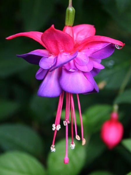Trailing Fuchsia Dark Eyes Finally Found Some Today Most Beautiful Flowers Fuchsia Flowers Beautiful Flowers