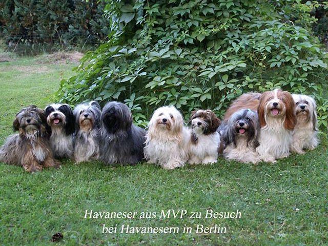 Pin By Kristi Hatrock On Dogs Havanese Havanese Dogs Bichon