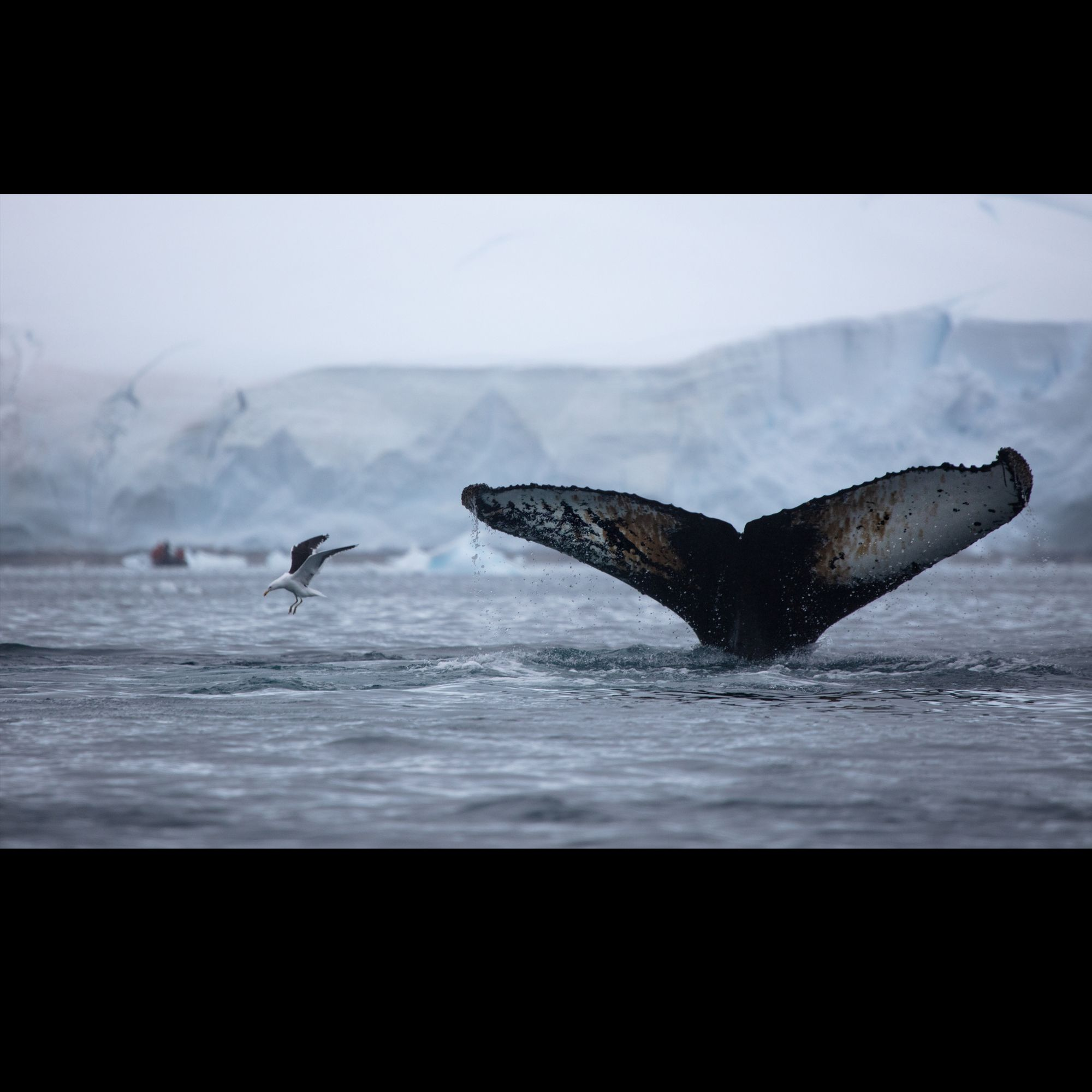 Humpback Whale and Gull in Antarctica . . . . . #challengeyourself #greenhillsentertainment #travelphotography #dennisgreenhillphotography #nationalgeographic #lindbladexpeditions #artandsoul #expeditionphotography #saveourplanet #instabirds #yourshotphotographer #savethewhales #humpbackwhale #wildlifephotography #antarctica