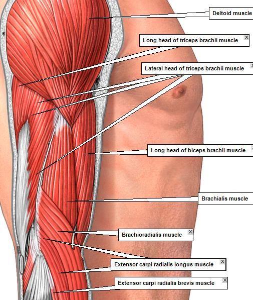 Pop-Anatomy - ADAM MUSCLES 2 | shoulder | Pinterest | Anatomía