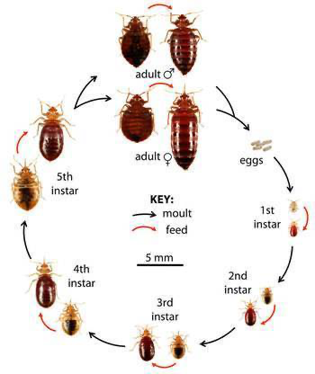 How To Get Rid Of Bed Bugs Fast 8 Home Remedies That Work Rid Of Bed Bugs