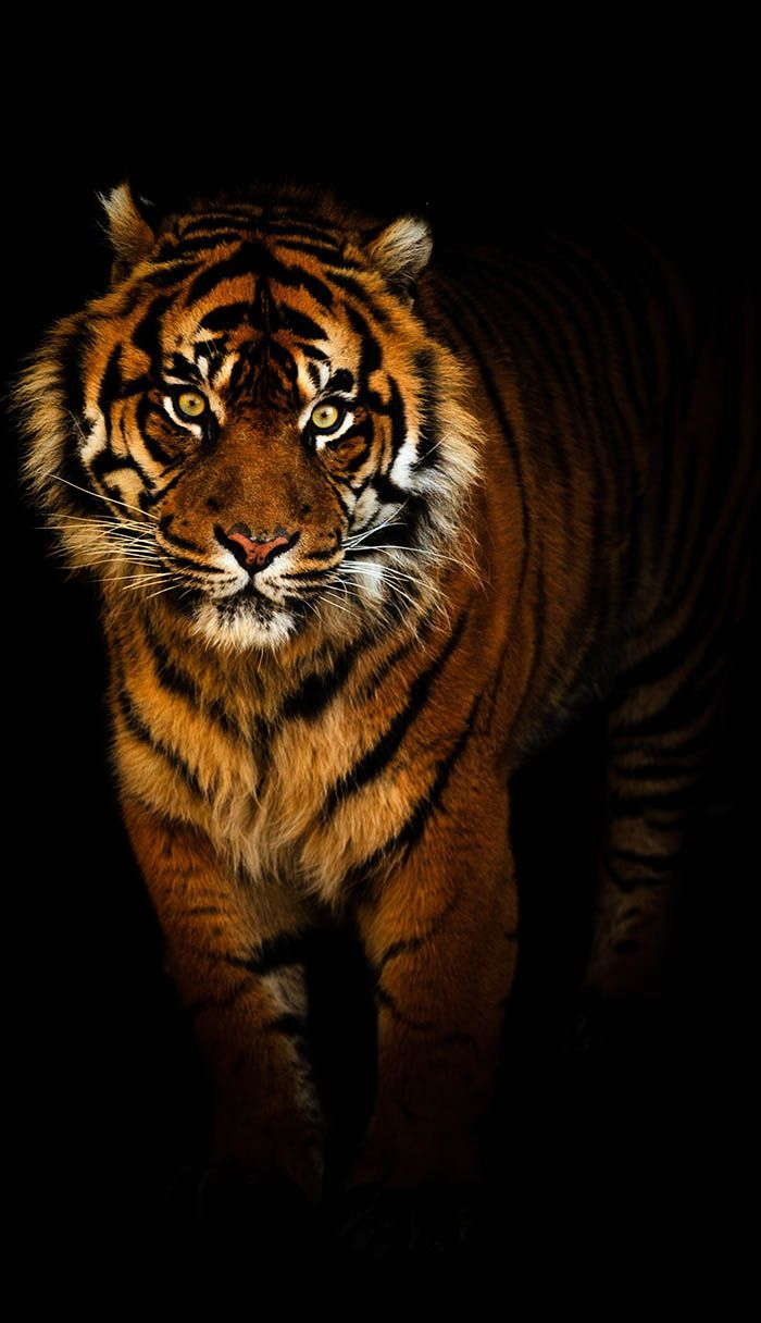 Tiger in the night by Tim Abeln Photography and Digital