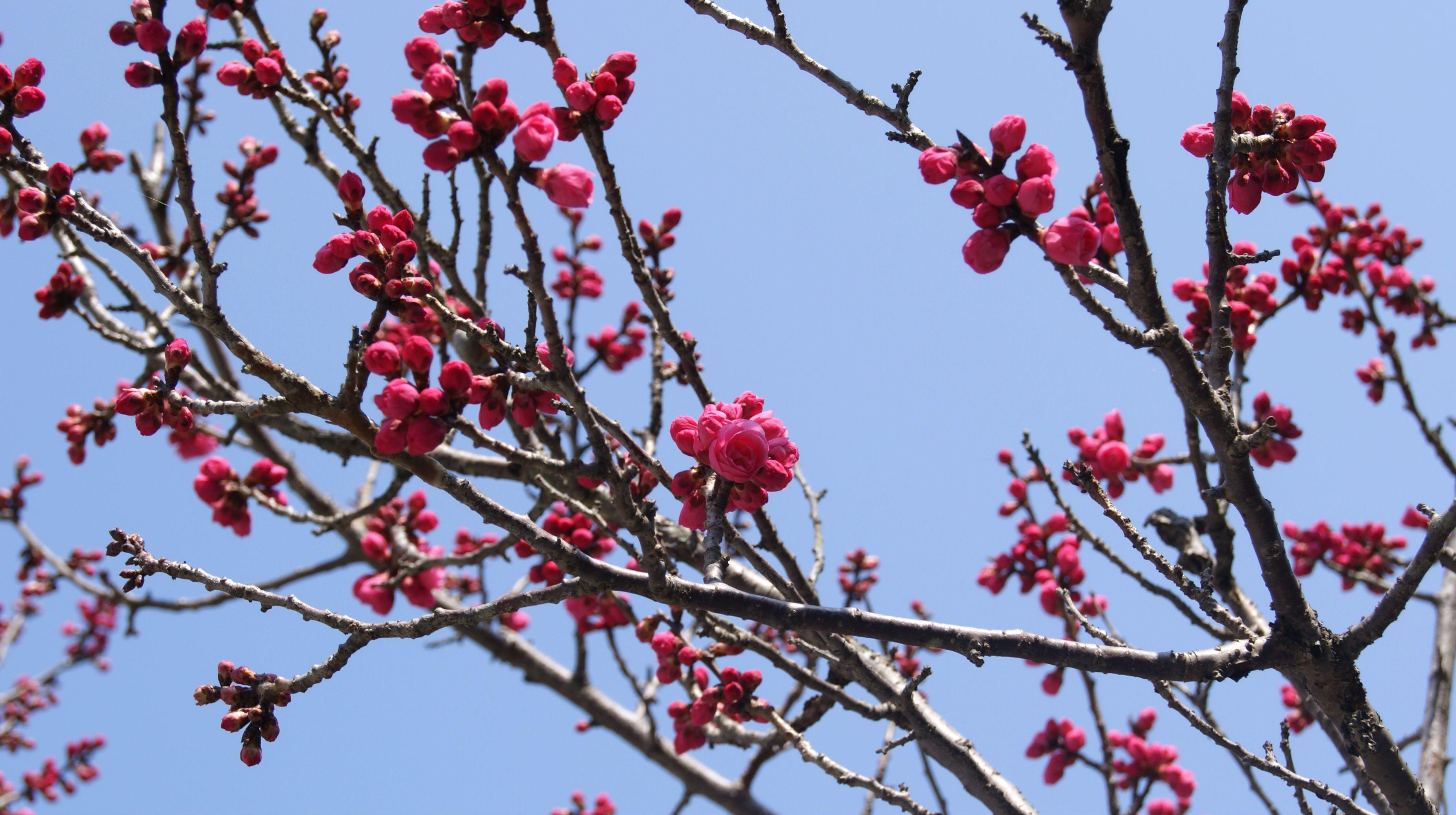 a plum-blossom at DAZAIFU FUKUOKA