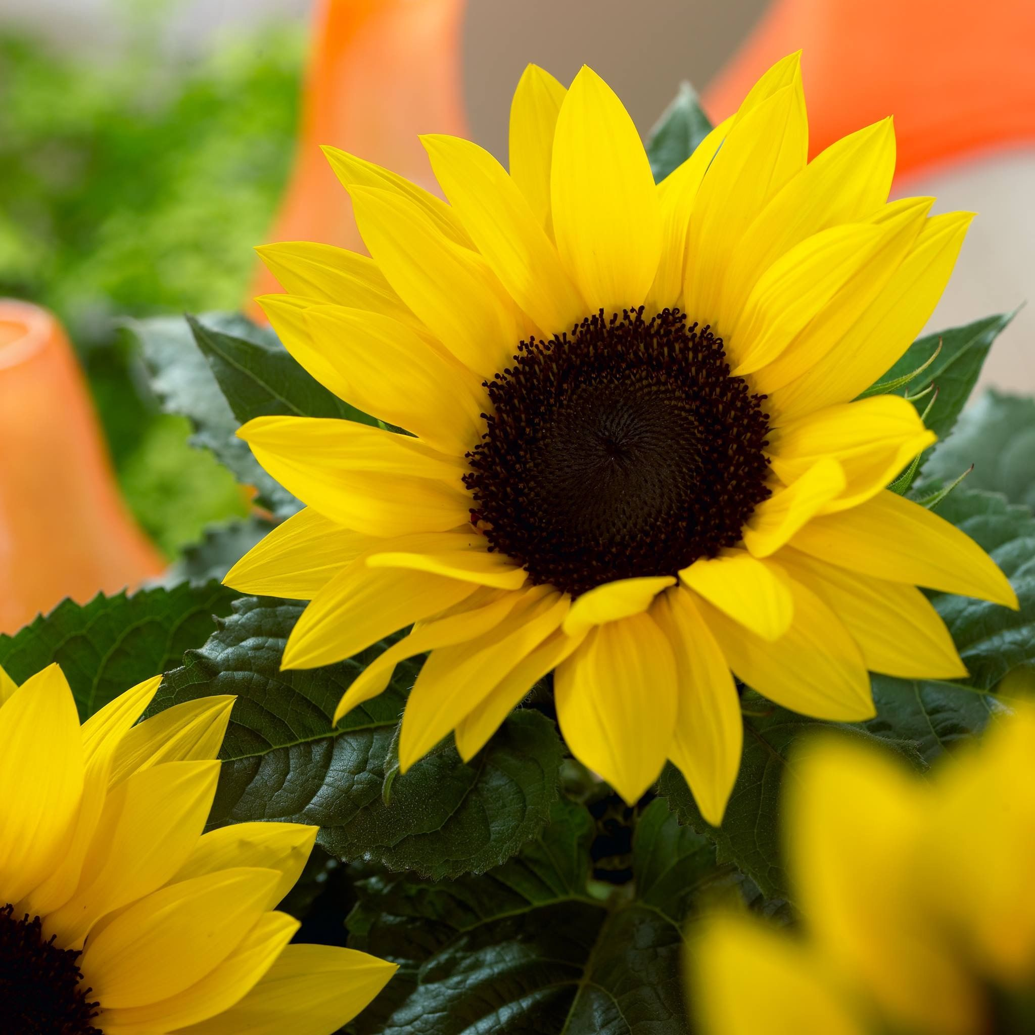 Pin by greensales on helianthus sunsation pinterest