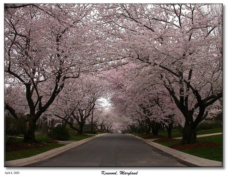 Kenwood Maryland The Other Cherry Blossoms Cherry Blossom Famous Trees Blossom